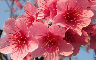 The Waimea Cherry Blossom Heritage Festival