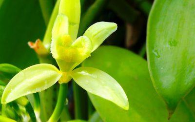 Hawaiian Vanilla